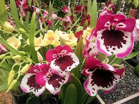Jane Girardot - Orchids
