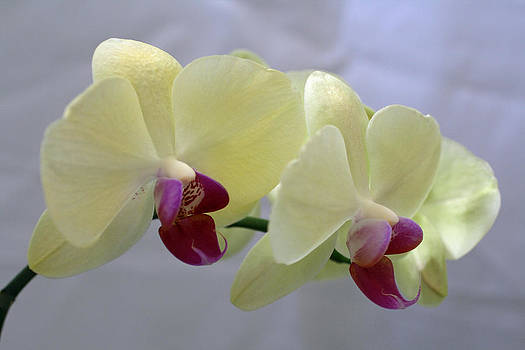 Orchids by Joan Powell
