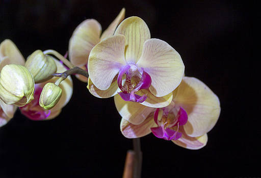 Orchids on Black by Dana Moyer