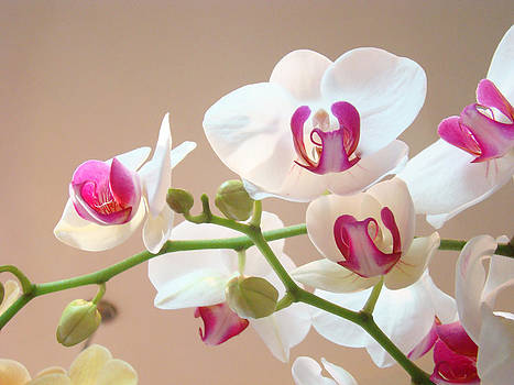 Baslee Troutman - Orchids Pink White Floral Art Prints