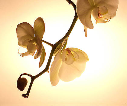 Orchids by Tanya Hamell
