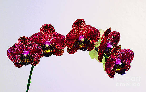 Orchids by Ursula Gill