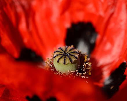 Oriental Poppy by Sandy Fisher