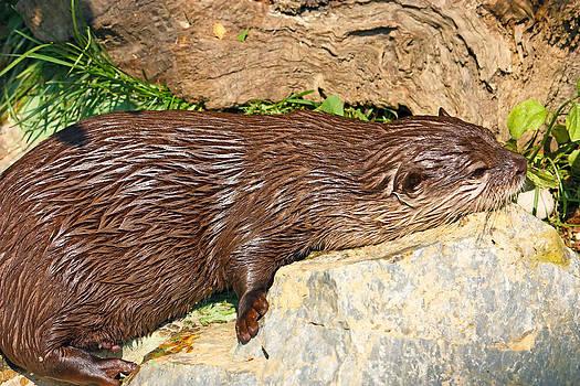 Oriental small-clawed otter by Borislav Marinic