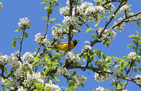 Oriole in a Pear Tree by Natalie LaRocque