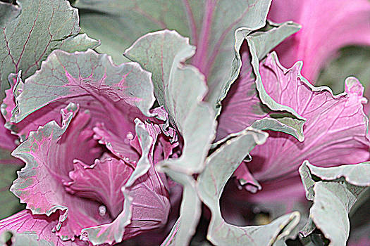 Kathy Peltomaa Lewis - Ornamental Cabbage 1