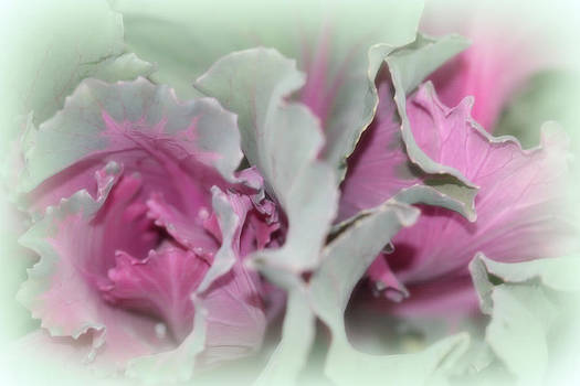 Kathy Peltomaa Lewis - Ornamental Cabbage 2