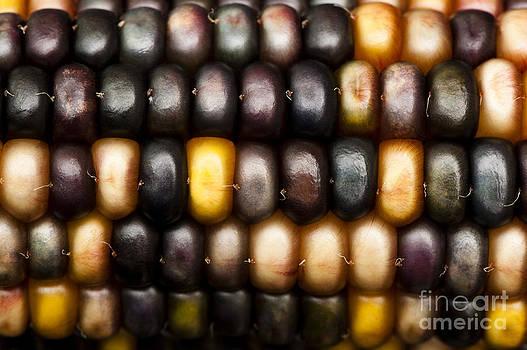 Anne Gilbert - Ornamental Corn