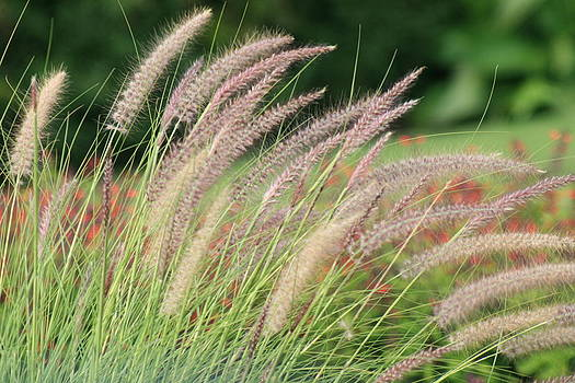 Ornamental Grass by Tiffany Vest