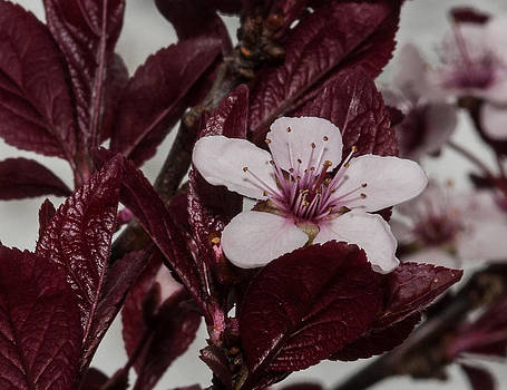 Lara Ellis - Ornamental Plum Beauty