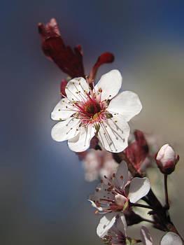 Lara Ellis - Ornamental Plum Blossom