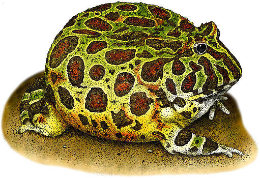 Ornate Horned Frog by Roger Hall