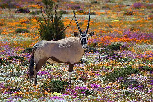 Oryx in flower carpet by Grobler Du Preez