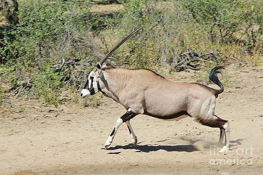 Hermanus A Alberts - Oryx Run of Power