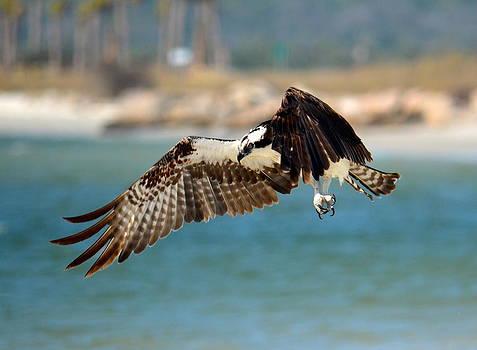 Osprey by Amber Bobbitt