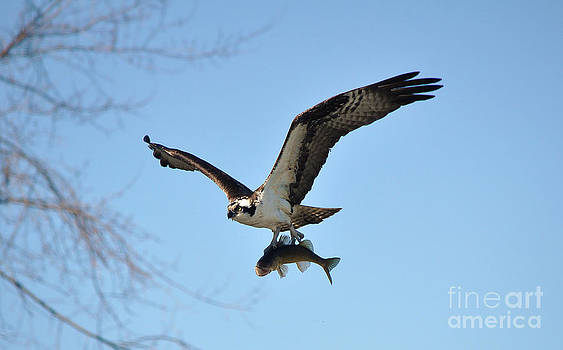 Osprey and Walleye III by Skye Ryan-Evans