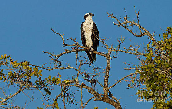 Carmen Del Valle - Osprey At Boca Grand 1