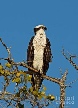 Osprey At Boca Grand 3 by Carmen Del Valle