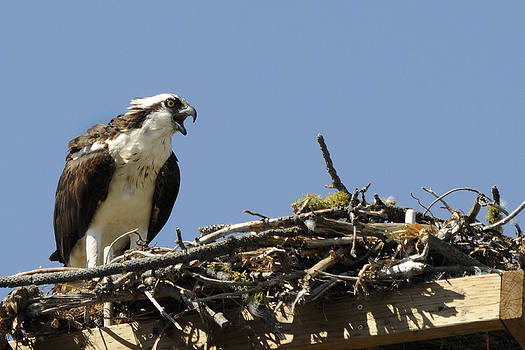 Osprey Calling for her Mate by David Marr