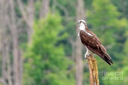 Osprey by Debbie Patrizi