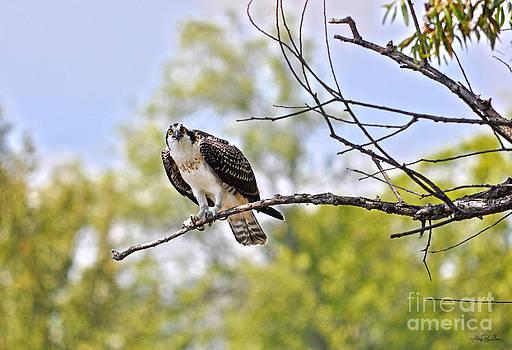 Osprey Encounter  by Skye Ryan-Evans