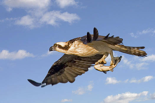 Terry Shoemaker - Osprey Flying With Fish
