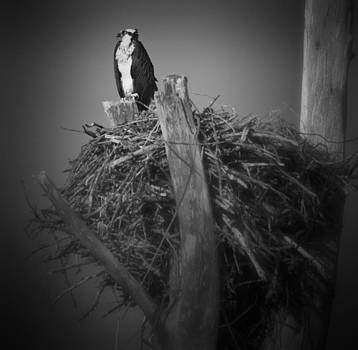 Osprey Guarding Nest by Bradley R Youngberg