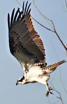 Osprey in flight by Bill Perry