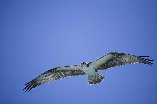 Osprey in Flight by Derek Latta