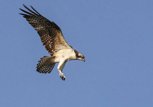 Osprey in flight by Jill Bell