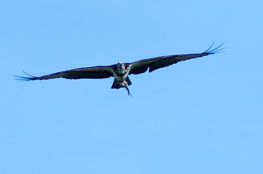 Osprey in Flight by Steve Atkinson