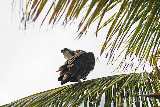 Osprey in Sanibel by Natural Focal Point Photography