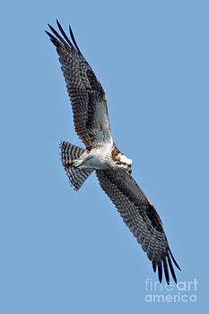 Osprey in Tampa by Natural Focal Point Photography