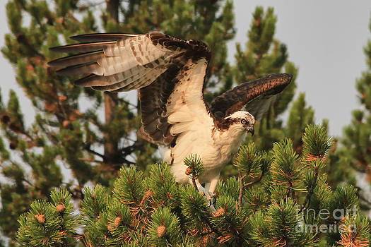 Teresa Zieba - Osprey in Yellowstone