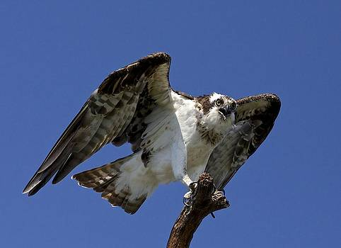 Osprey by John Kearns