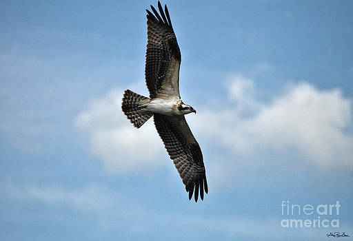 Osprey Juvenile in Flight by Skye Ryan-Evans