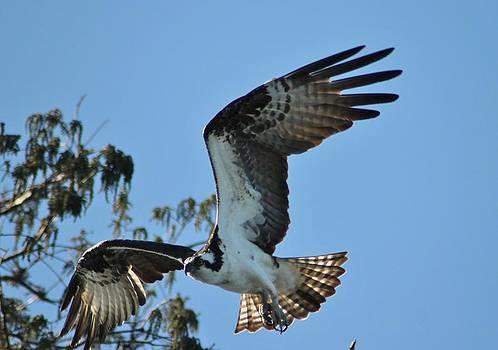 Osprey Landind by Marcia Crispino