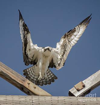 Dale Powell - Osprey Landing