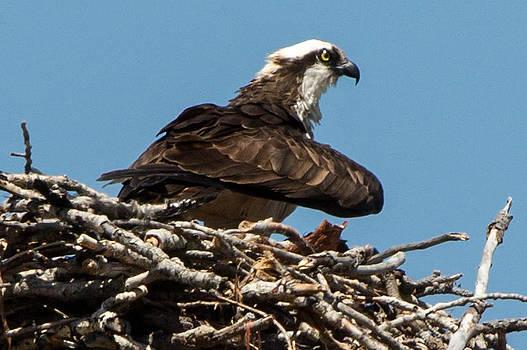John Daly - Osprey Nest 2