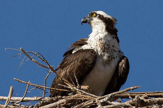 John Daly - Osprey Nest Closeup