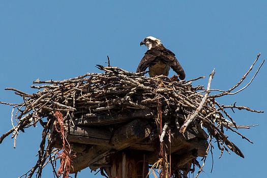 John Daly - Osprey Nest