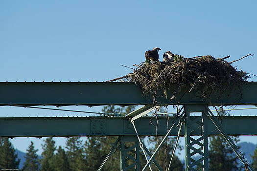 Mick Anderson - Osprey Nest with Mom and Chicks