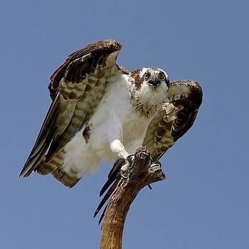 Osprey or Fish Hawk by John Kearns