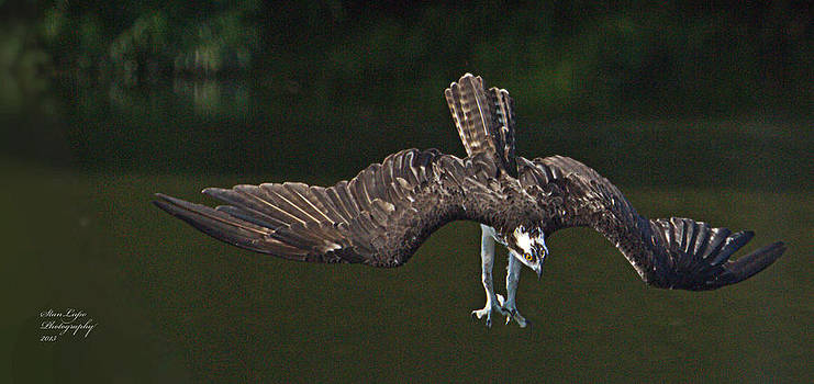 Osprey Plunging by Stanley Lupo