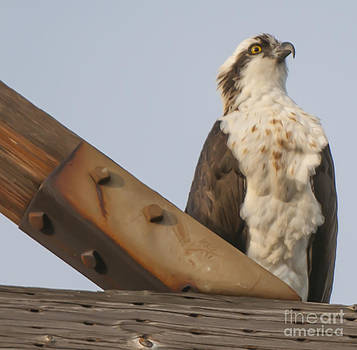 Dale Powell - Osprey -SeaHawk