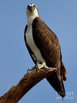 Patricia Twardzik - Osprey Standing Tall
