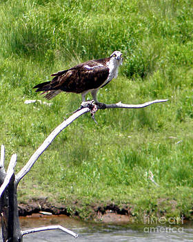 Osprey with a Fish by Laurie Klein