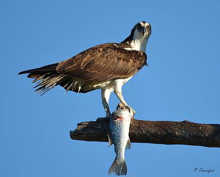 Patricia Twardzik - Osprey with a Fish