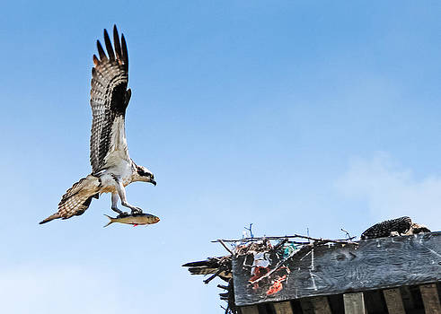 Osprey With Fish by Don and Bonnie Fink