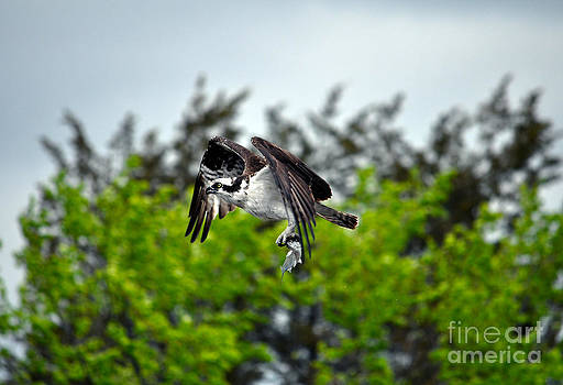 Osprey with Prey by Skye Ryan-Evans